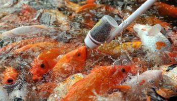 alimento-peces